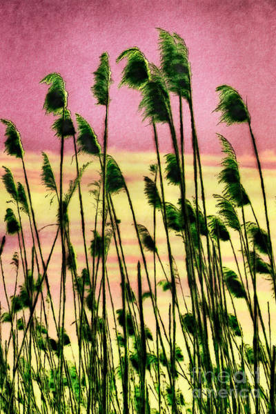 Outer Banks Painting - Currituck Oats Pink Ap by Dan Carmichael