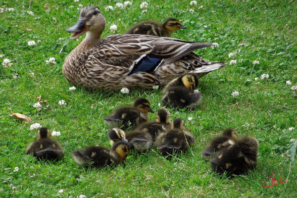 Photograph - Cute Duck Family Visit In My Garden  by Colette V Hera  Guggenheim
