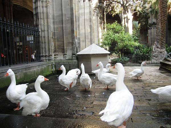 Photograph - Cute Ducks In The Courtyard Barcelona Spain by John Shiron