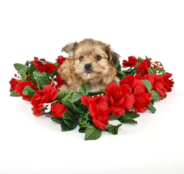 Wall Art - Photograph - Cute Yorkie Poo Puppy by StockImage