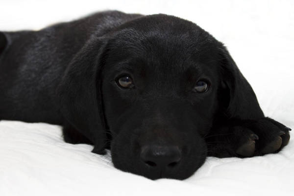 Black Lab Photograph - Cuteness by Ricky Barnard