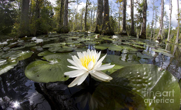 Lillypad Photograph - Cypress Gardens Lily Pad Flowers by Dustin K Ryan