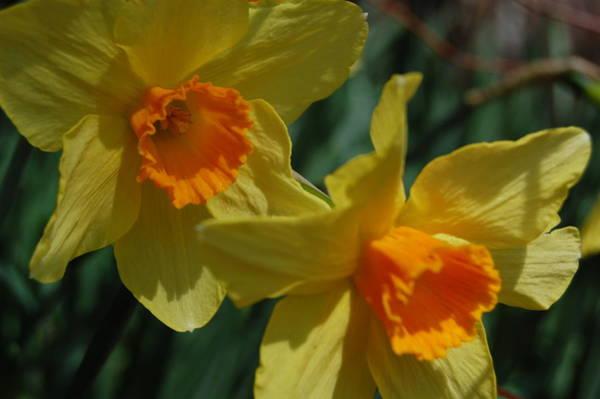 Dafodil Photograph - Daffodil 3 by Paul Thomley