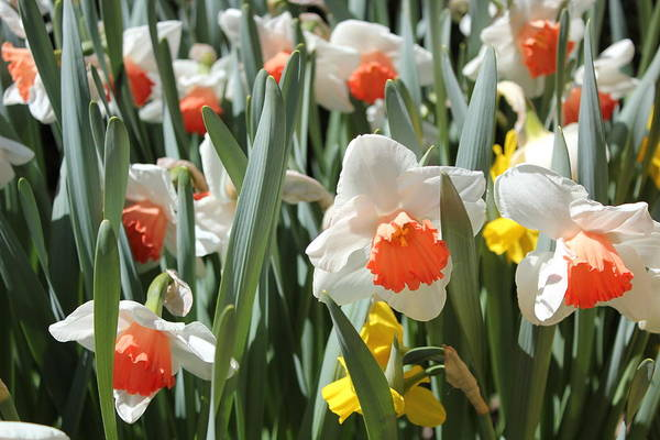 Photograph - Daffodils by Felix Zapata