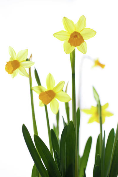 Wall Art - Photograph - Daffodils (narcissus Sp.) Against White Background by Ingmar Wesemann