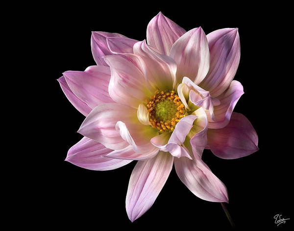 Photograph - Dahlia by Endre Balogh