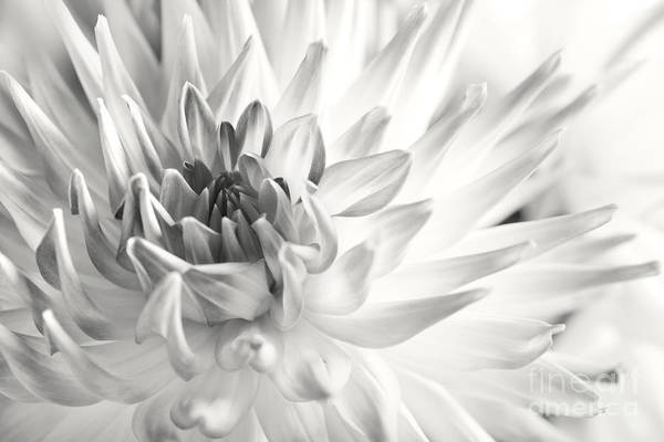 Dahlias Photograph - Dahlia Flower 02 by Nailia Schwarz