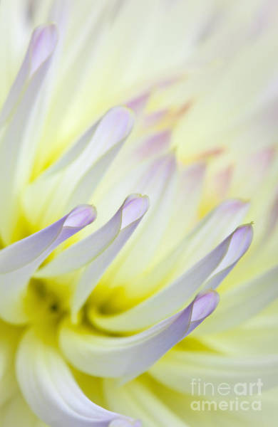 Soft Color Photograph - Dahlia Flower 09 by Nailia Schwarz