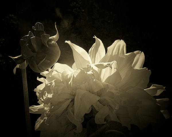 Photograph - Dahlia Philadelphia by Trish Tritz