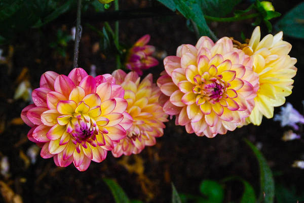 Photograph - Dahlias From Pam's Garden by Guy Whiteley