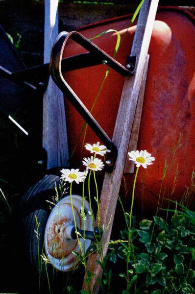 Photograph - Daisies And Rusty Wheelbarrow by Trever Miller