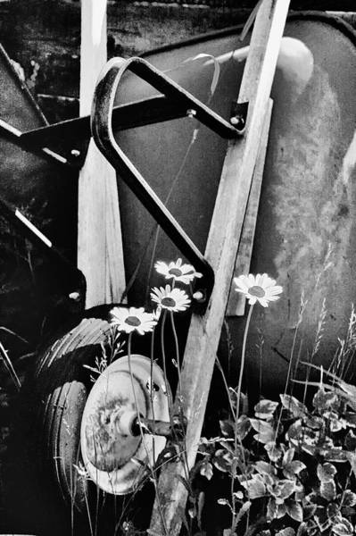 Photograph - Daisies And Wheelbarrow by Trever Miller