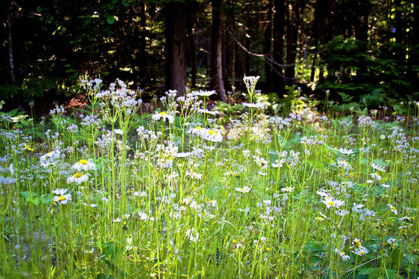 Priest Lake Photograph - Daisies In The Meadow by David Patterson