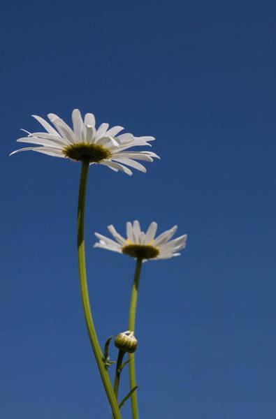 Photograph - Daisy From Below by Cliff Wassmann