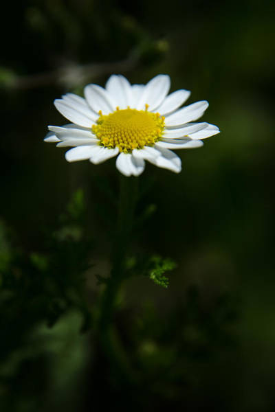 Photograph - Daisy In Full Growth by Michael Goyberg