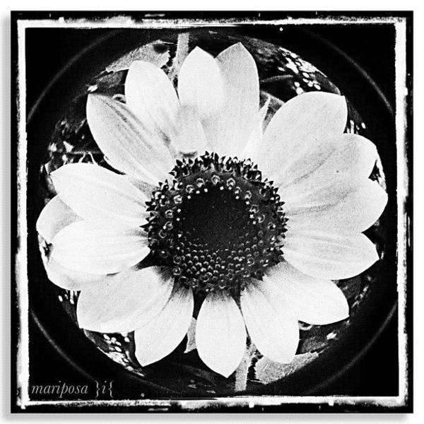 Detail Photograph - Daisy by Mari Posa