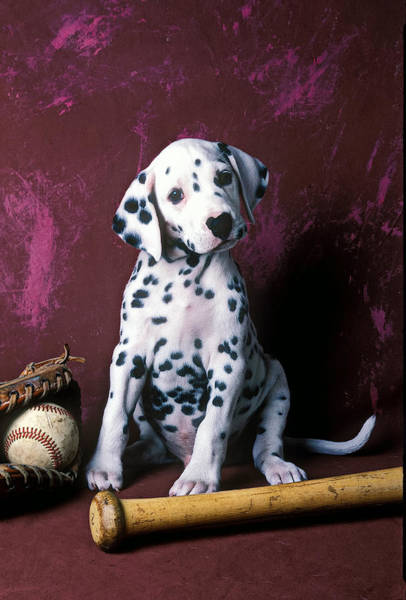 Wall Art - Photograph - Dalmatian Puppy With Baseball by Garry Gay