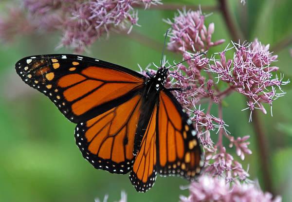 Photograph - Danaus Plexippus Butterfly by Juergen Roth
