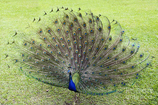 Peacock Photograph - Dance With Me by Teresa Zieba
