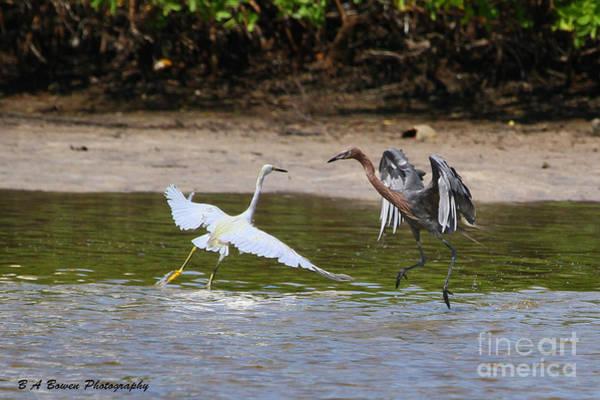 Photograph - Dancing Egrets by Barbara Bowen