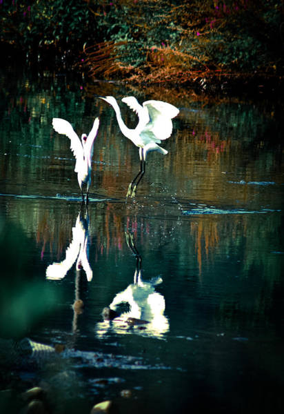 Photograph - Dancing Egrets by Emanuel Tanjala