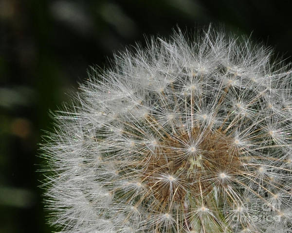 Wall Art - Photograph - Dandelion by Paul Ward