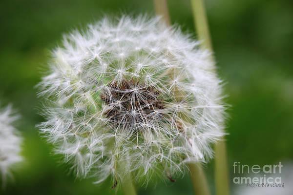 Photograph - Dandelion by Todd Blanchard