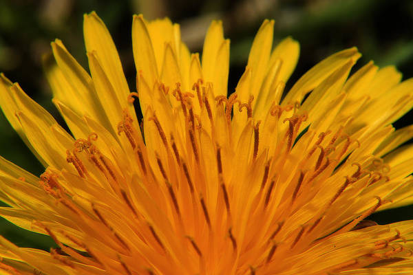 Photograph - Dandy Lion by Scott Hovind