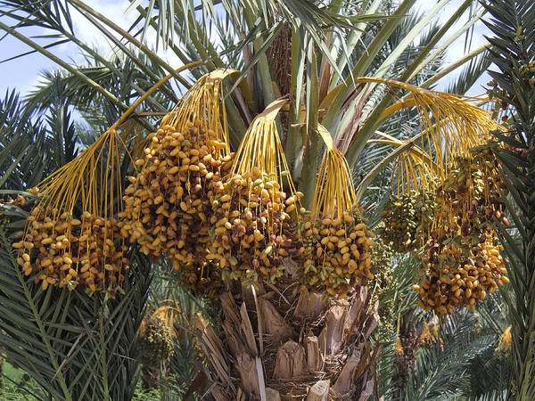 Indio Photograph - Date Palm In Fruit by Dominic Piperata