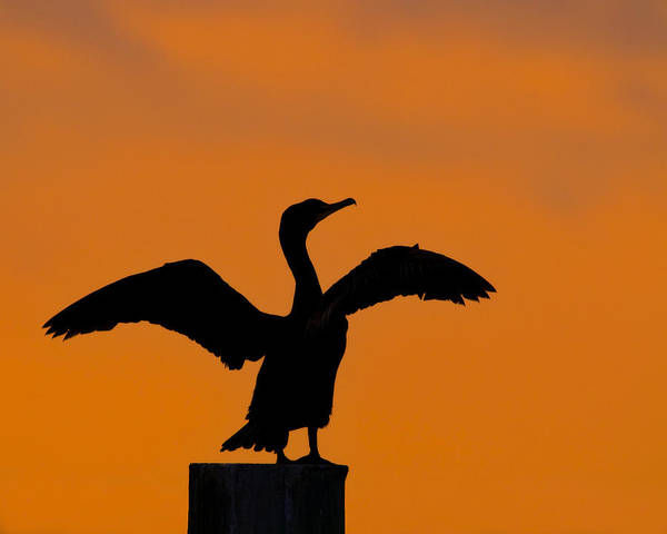 Phalacrocorax Auritus Wall Art - Photograph - Dawn Of A Double-crested Cormorant  by Tony Beck