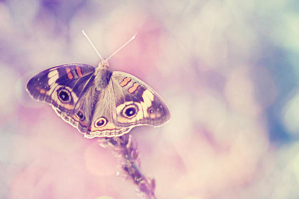 Buckeye Butterfly Wall Art - Photograph - Day Dream by Amy Tyler