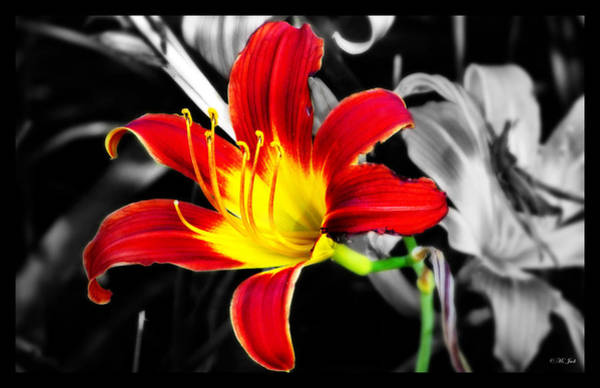 Photograph - Day Lily Reaching Out by Ms Judi