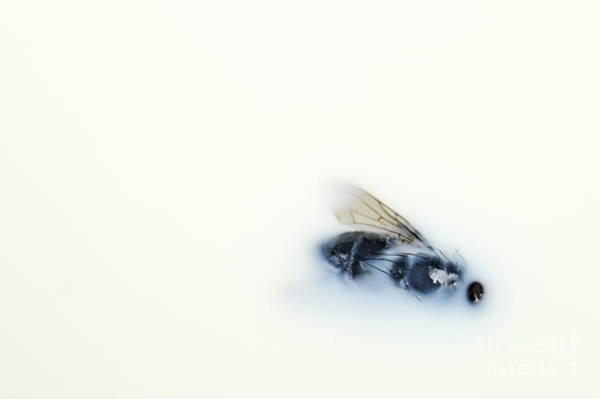 Ugliness Photograph - Dead Fly Floating On Milk by Sami Sarkis