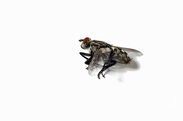 Ugliness Photograph - Dead Fly On White Background by Sami Sarkis