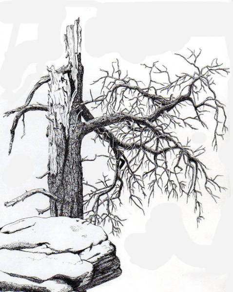 Evergreen Trees Drawing - Dead Tree by Inger Hutton