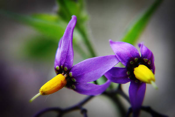 Photograph - Deadly Nightshade 3 by Scott Hovind