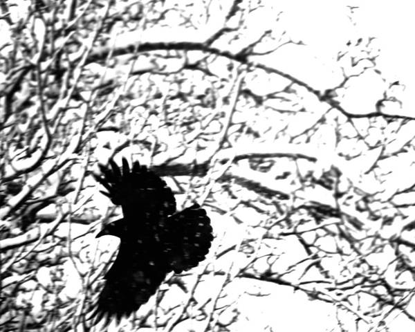 In Flight Photograph - December Raven by Susan Capuano