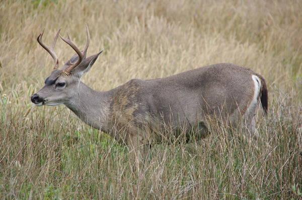 Photograph - Deer Buck by Jeff Lowe
