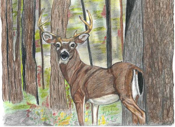 White Tailed Deer Drawing - Deer by Don  Gallacher