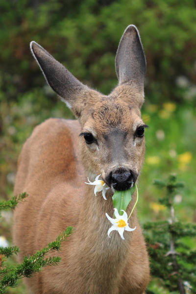 Photograph - Deer In The Wild Flowers by Pierre Leclerc Photography
