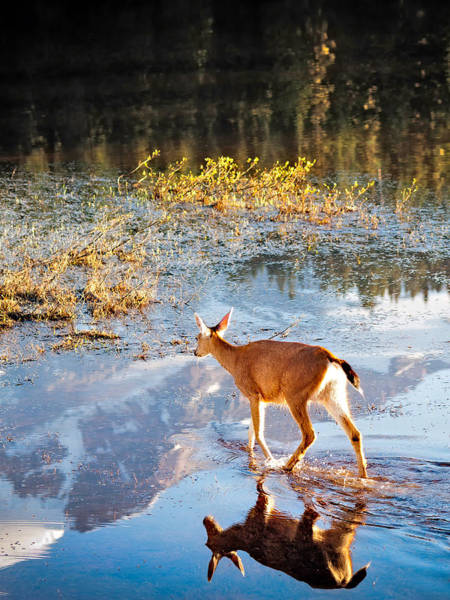 Wall Art - Photograph - Deer On Reflection Lake by Alvin Kroon