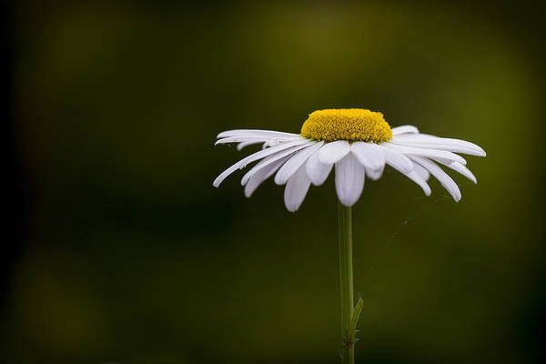 Photograph - Defiant Daisy by Clare Bambers