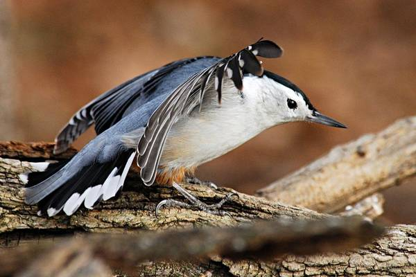 Photograph - Defiant Nuthatch by Larry Ricker