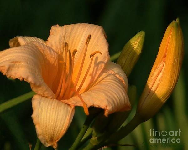 Photograph - Delicate Flower by Donna Cavanaugh