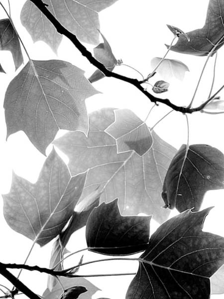 Photograph - Delicate Leaves Monochrome by Beth Akerman
