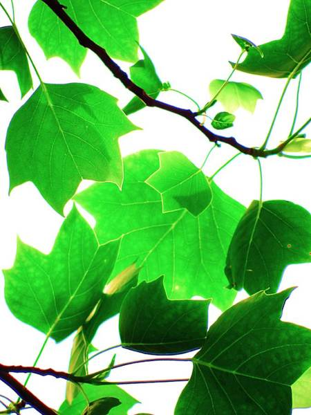 Photograph - Delicate Tulip Tree Leaves by Beth Akerman