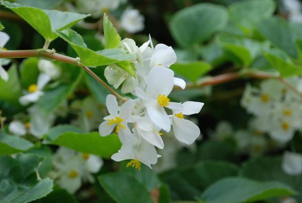 Photograph - Delicate White Flower by Jennifer Ancker