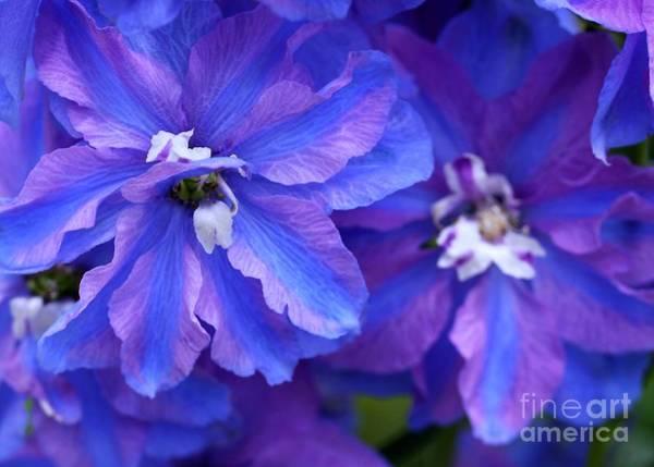 Photograph - Delightful Delphinia Flowers by Sabrina L Ryan