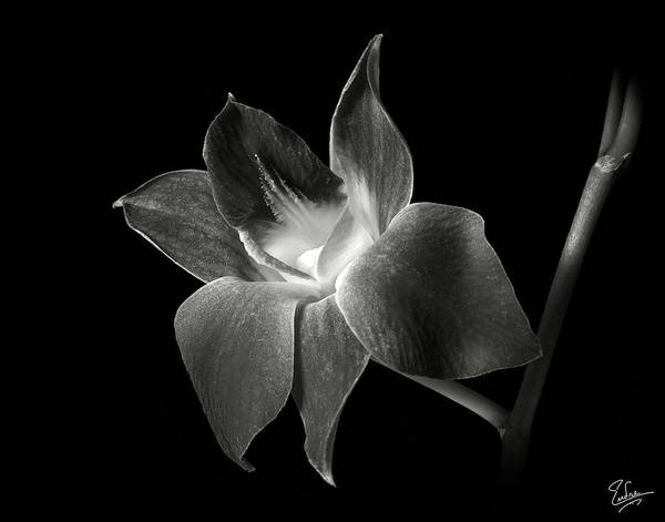 Dendrobium Orchid In Black And White Art Print