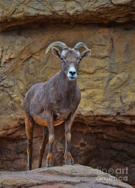Photograph - Desert Bighorn Sheep Ewe by Donna Greene